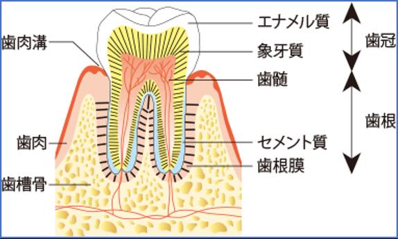 歯の解説図
